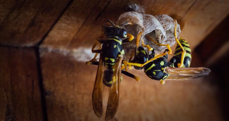 Que faire en cas de nid de guêpes sous sa terrasse bois