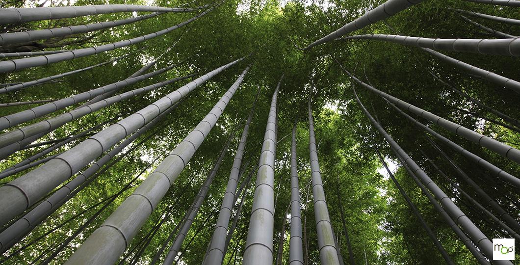 Plantation durable de bambou certifié FSC